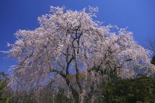 阿弥陀寺のしだれ桜 満開の春の写真素材 [FYI00461438]