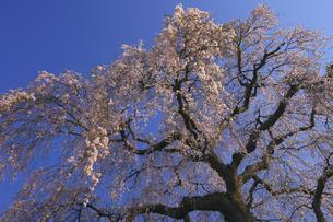 阿弥陀寺のしだれ桜 満開の春の写真素材 [FYI00461439]