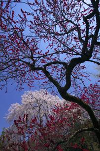阿弥陀寺のしだれ桜 花桃とのコラボの写真素材 [FYI00461447]