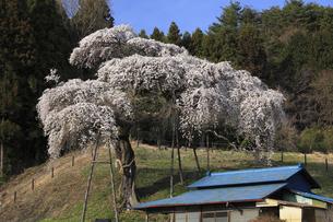 水戸黄門お手植えの桜 外大野のしだれ桜の写真素材 [FYI00461450]