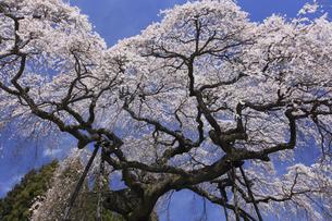 水戸黄門お手植えの桜 外大野のしだれ桜の写真素材 [FYI00461451]