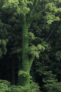 ツタに覆われた大樹 見た目は綺麗ですが 樹はピンチ 窒息状態ですの写真素材 [FYI00461455]