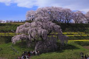 三春滝桜 人々がそれぞれに春爛漫の写真素材 [FYI00461459]