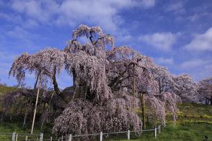 三春滝桜全容 柵を入れて撮影 人物なしの写真素材 [FYI00461465]