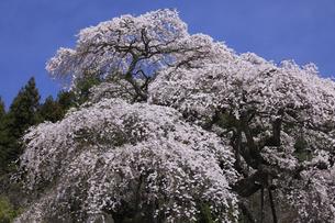水戸黄門お手植えの桜 外大野のしだれ桜の写真素材 [FYI00461466]