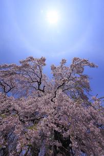 三春滝桜から 見上げる日暈 ひがさ にちうんの写真素材 [FYI00461467]