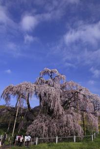 三春滝桜全容 柵を入れて撮影 人物有り 縦位置の写真素材 [FYI00461468]