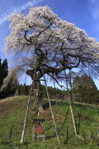 水戸黄門お手植えの桜 外大野のしだれ桜の写真素材 [FYI00461469]