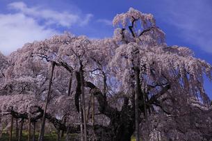 三春滝桜全容 柵を除外して撮影 人物なしの写真素材 [FYI00461470]