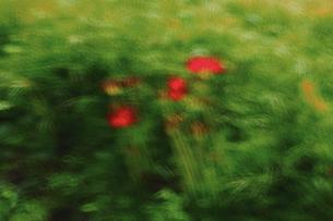 赤い花イメージ 曼珠沙華 淡い輪郭 強い色調 パステル画調の写真素材 [FYI00461483]