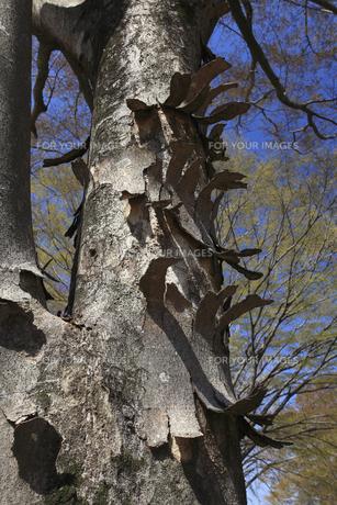 捲れる樹皮の写真素材 [FYI00461504]