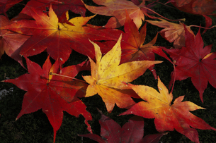 楓の落ち葉 秋イメージの写真素材 [FYI00461507]