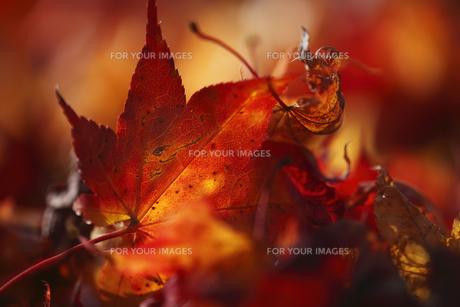 楓の落ち葉 秋イメージの素材 [FYI00461514]