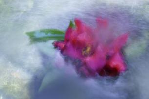 椿イメージ 淡い輪郭 強い色調 パステル画調の写真素材 [FYI00461516]