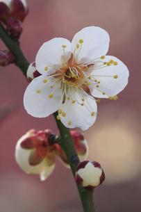 冬至梅 早咲きの梅 春がやっときた偕楽園の写真素材 [FYI00461526]