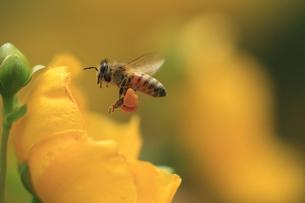 ミツバチの飛行 花粉だんごを後脚の花粉かごにつけて運ぶ 花は金糸梅の写真素材 [FYI00461528]