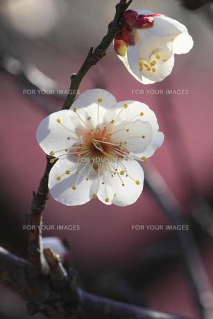 冬至梅 早咲きの梅 春がやっときた偕楽園の写真素材 [FYI00461531]