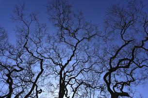 サルスベリ 裸木の枝 あたかもニューロンのように 天を目指すの写真素材 [FYI00461540]
