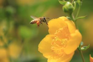 ミツバチの飛行 花粉だんごを後脚の花粉かごにつけて運ぶ 花は金糸梅の写真素材 [FYI00461545]