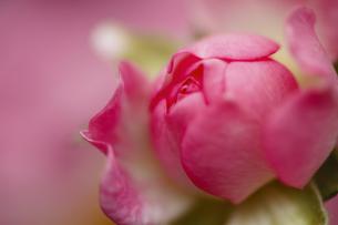 薔薇の割れ目 エロチックイメージの写真素材 [FYI00461571]