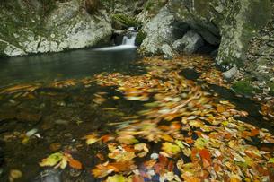 花園渓谷 もみじ色の流れ 清流の淵に渦巻く紅葉の華麗な色の写真素材 [FYI00461578]