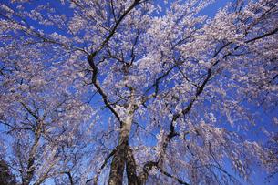 000723~724 青柳の糸桜:室町時代の世阿弥の謡曲「桜川」。その舞台となった「櫻川磯部稲村神社」に咲くサクラ。の写真素材 [FYI00461579]