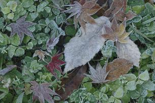 楓の落ち葉に霜 晩秋イメージの写真素材 [FYI00461580]
