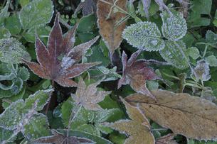 楓の落ち葉に霜 晩秋イメージの写真素材 [FYI00461587]