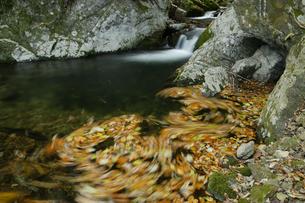 花園渓谷 もみじ色の流れ 清流の淵に渦巻く紅葉の華麗な色の写真素材 [FYI00461588]