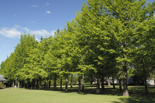 新緑のイチョウ並木:「茨城県立歴史館」敷地内にある。人物なし。の写真素材 [FYI00461590]
