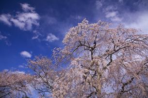 桜川のサクラ:世阿弥の謡曲「桜川」 紀貫之の「後撰和歌集」 で詠われて有名。の写真素材 [FYI00461592]