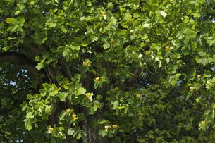 ユリノキ(百合の木)開花:「茨城県立歴史館」敷地内で。の写真素材 [FYI00461593]