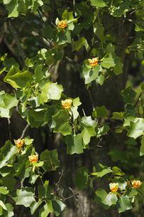 ユリノキ(百合の木)開花:「茨城県立歴史館」敷地内で。の写真素材 [FYI00461594]