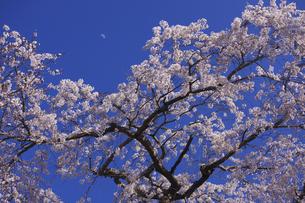 上弦の月 青柳の糸桜:室町時代の世阿弥の謡曲「桜川」。その舞台となった「櫻川磯部稲村神社」に咲くサクラ。の写真素材 [FYI00461597]
