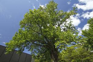 ユリノキ(百合の木)開花:「茨城県立歴史館」敷地内で。の写真素材 [FYI00461600]