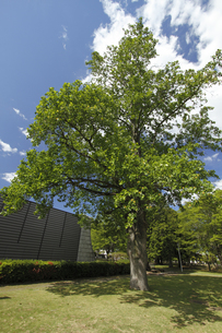ユリノキ(百合の木)開花:「茨城県立歴史館」敷地内で。の写真素材 [FYI00461601]