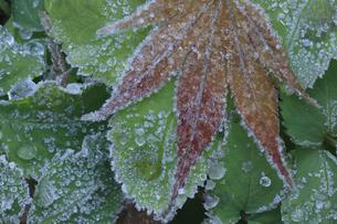 楓の落ち葉に霜 晩秋イメージの写真素材 [FYI00461602]