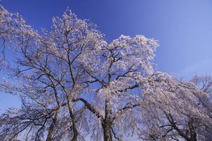 青柳の糸桜:室町時代の世阿弥の謡曲「桜川」。その舞台となった「櫻川磯部稲村神社」に咲くサクラ。(画面中央)の写真素材 [FYI00461604]