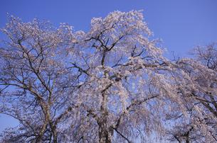 青柳の糸桜:室町時代の世阿弥の謡曲「桜川」。その舞台となった「櫻川磯部稲村神社」に咲くサクラ。(画面中央上部に小さく写っているのは、上弦の月)の写真素材 [FYI00461605]