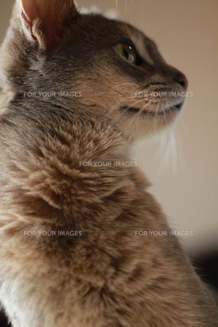 猫 俯瞰の素材 [FYI00461662]