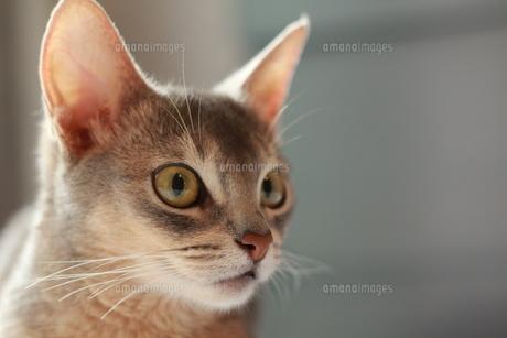 何かが気になるネコの写真素材 [FYI00461663]