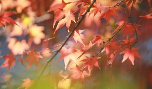 淡い紅葉の写真素材 [FYI00461670]