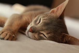 昼寝をするネコの素材 [FYI00461672]