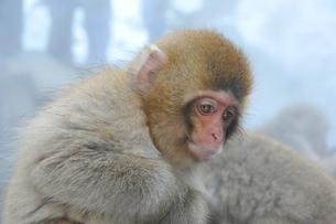 何かに興味をもつ子猿の写真素材 [FYI00461676]