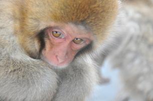 寒さに耐える子猿の素材 [FYI00461677]