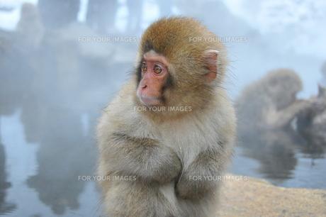 見つめる子猿の素材 [FYI00461680]