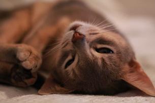 寝転ぶネコの素材 [FYI00461681]