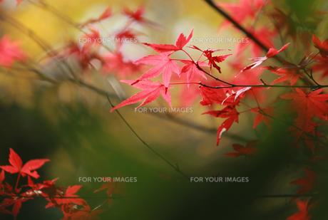 渋い紅葉の写真素材 [FYI00461689]