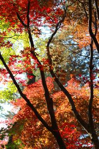 秋の紅葉の素材 [FYI00461691]