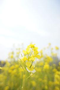 菜の花の写真素材 [FYI00461714]